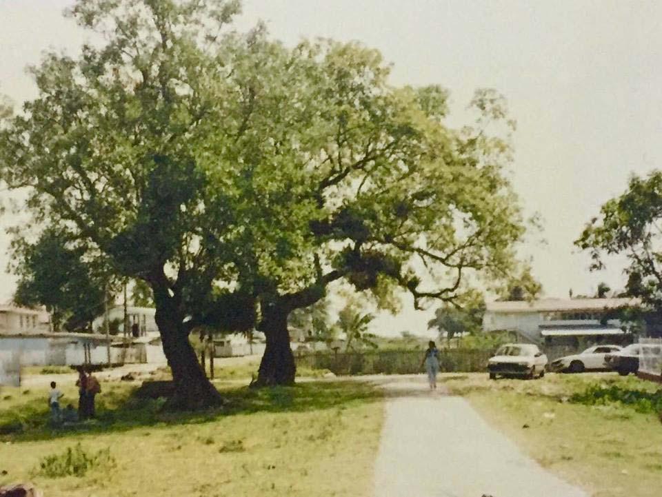 Cork tree in Leonora